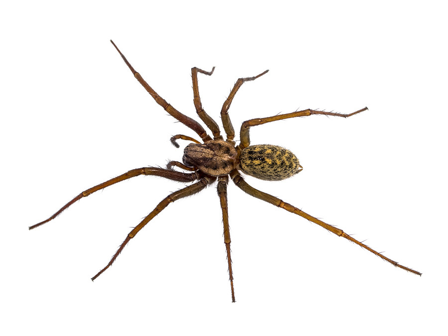 caldwell spider control, caldwell hobo spider, caldwell house spider control, caldwell black widow spider control
