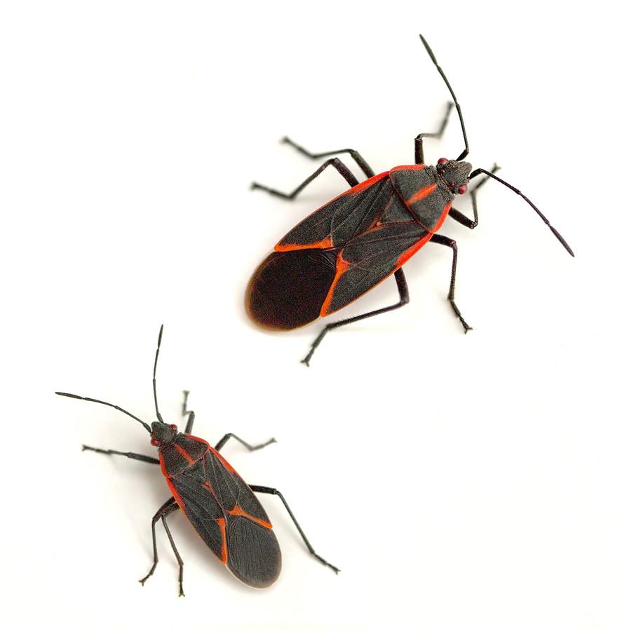 garden city boxelder bug control, garden city boxelder bug removal, garden city boxelder bug extermination, best boxelder bug control garden city