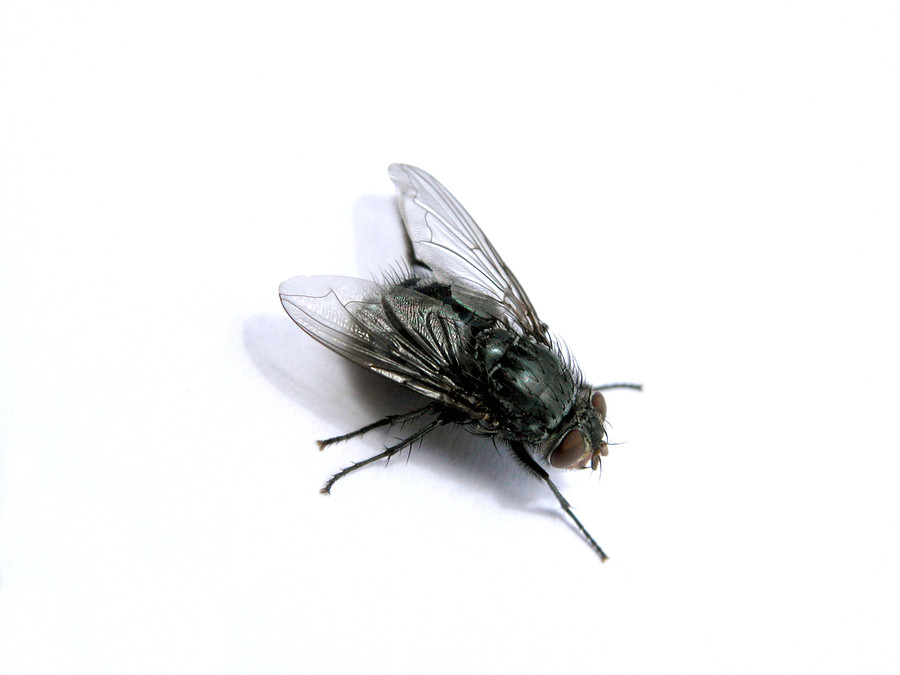 eagle fly control, eagle fly extermination, eagle house fly control, eagle house fly extermination