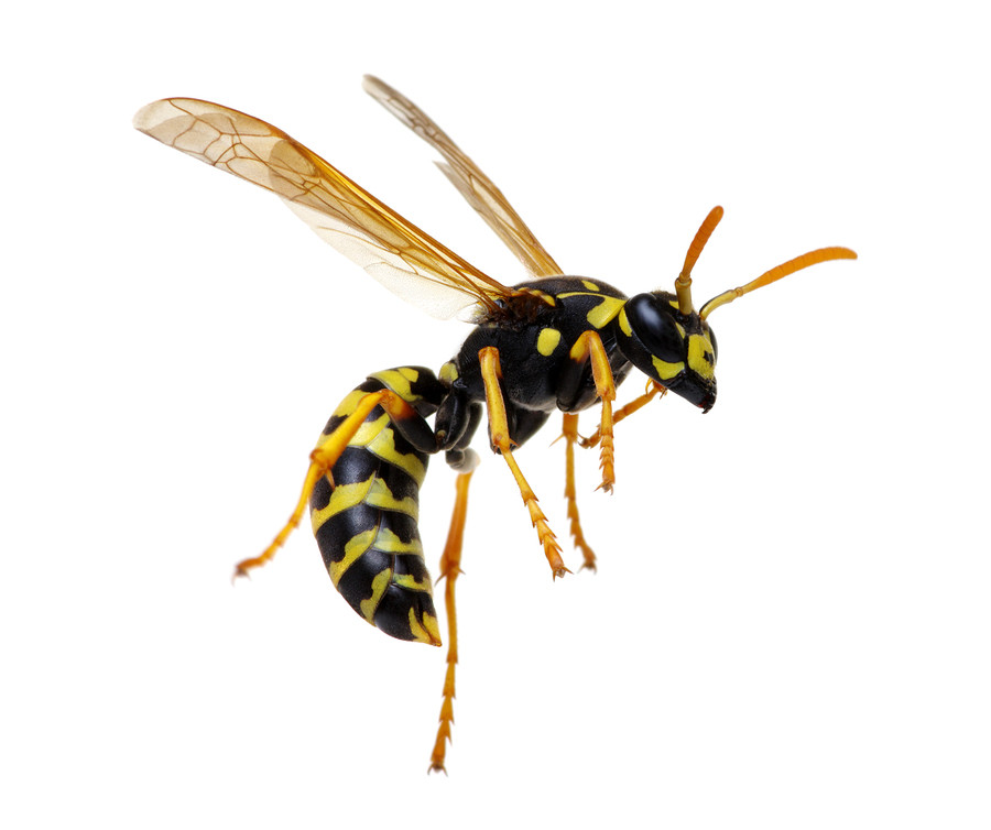 New plymouth wasp control, new plymouth wasp extermination, new plymouth paper wasp control, new plymouth paper wasp extermination