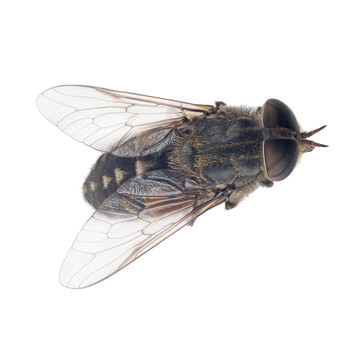 boise livestock flies