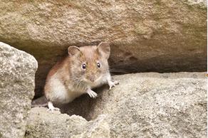 weiser mouse control, weiser mice control, weiser rat control, weiser rodent control