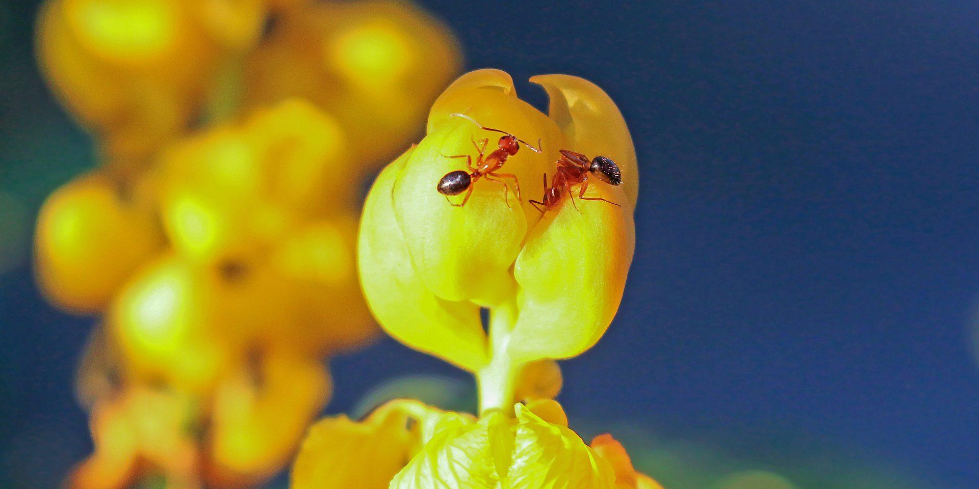 AntsFire Ants Boise fire ant control
