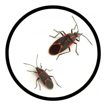 eagle boxelder bug control, eagle boxelder bug removal, eagle boxelder bug extermination, best boxelder bug control eagle