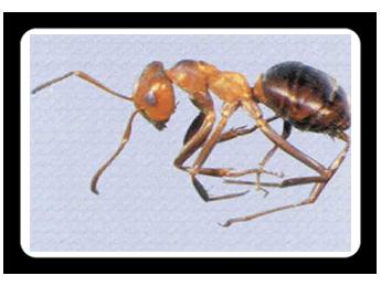 Allegheny-Mound-Ant
